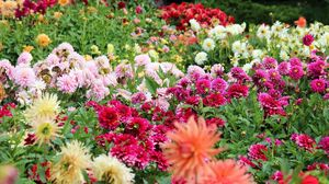 Preview wallpaper dahlias, flowers, flowerbed, much