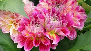 Preview wallpaper dahlias, flowers, loose, leaves