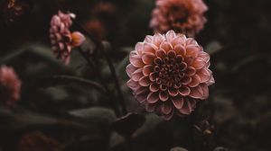 Preview wallpaper dahlias, flowers, pink, plant