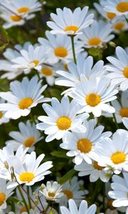 Preview wallpaper daisies, white, meadow, summer, mood
