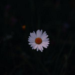 Preview wallpaper daisy, field flower, dark background
