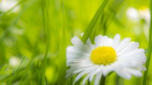 Preview wallpaper daisy, flower, macro, grass