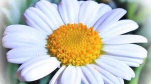 Preview wallpaper daisy, flower, petals
