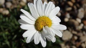 Preview wallpaper daisy, flower, petals, close-up