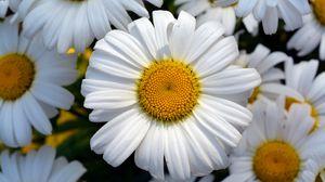 Preview wallpaper daisy, flower, petals, field