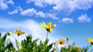 Preview wallpaper daisy, flowers, ladybug, grass, sky, clouds, summer