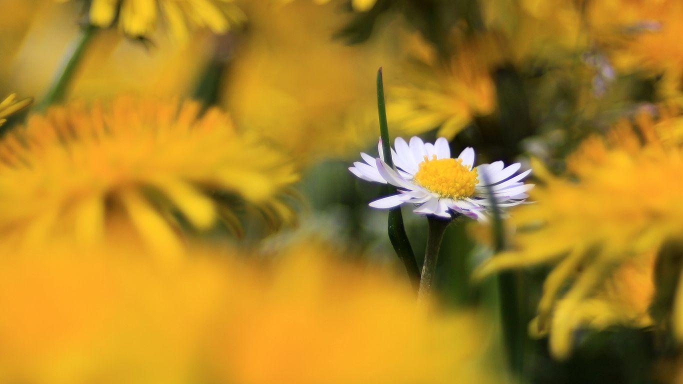 1366x768 Wallpaper daisy, wildflower, summer, blurring