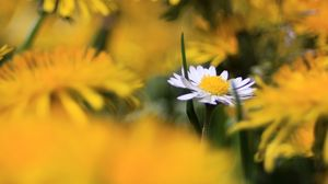 Preview wallpaper daisy, wildflower, summer, blurring