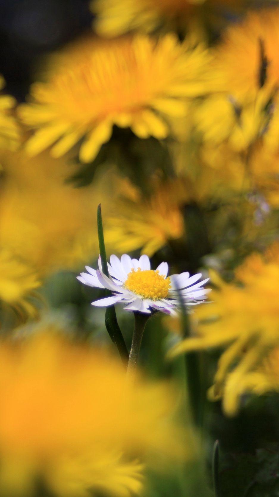 938x1668 Wallpaper daisy, wildflower, summer, blurring
