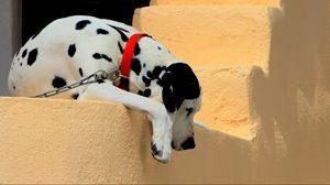Preview wallpaper dalmatian, dog, collar, lie down, shadow, ladder