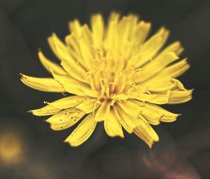Preview wallpaper dandelion, flower, petals, macro, yellow