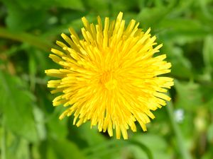 Preview wallpaper dandelion, flower, plant, yellow, macro