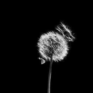 Preview wallpaper dandelion, plant, fluff, macro, black and white, black