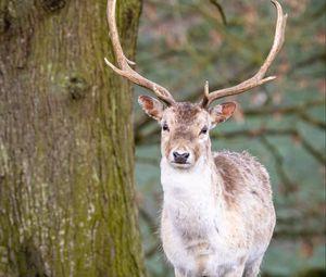 Preview wallpaper deer, animal, antler, forest, wildlife