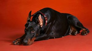 Preview wallpaper doberman, dog, down, big, photoshoot