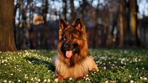 Preview wallpaper dog, grass, sit, protruding tongue