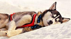 Preview wallpaper dog, husky, muzzle, sleep, grass, team