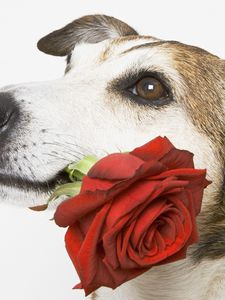 Preview wallpaper dog, muzzle, rose, flower, gift