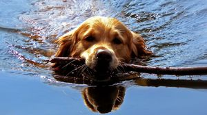 Preview wallpaper dog, muzzle, stick, swim, team