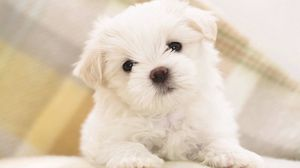 Preview wallpaper dog, puppy, white, baby