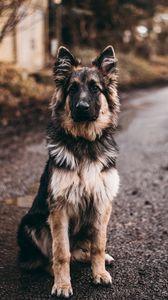 Preview wallpaper dog, shepherd, sits