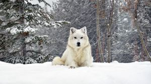 Preview wallpaper dog, wolf, forest, snow, lying
