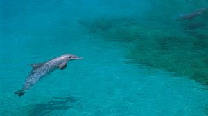 Preview wallpaper dolphin, shallow water, swim