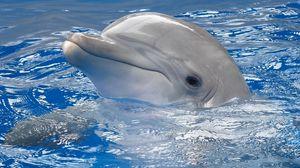 Preview wallpaper dolphin, water, swim, head