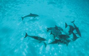 Preview wallpaper dolphins, flock, shoal