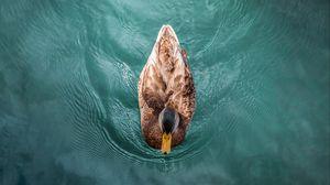 Preview wallpaper duck, bird, water, swim