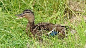 Preview wallpaper duck, grass, lie, bird