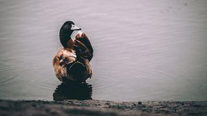 Preview wallpaper duck, lake, bird