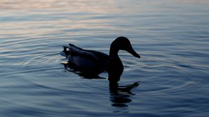 Preview wallpaper duck, lake, silhouette, evening
