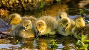 Preview wallpaper duck, river, birds, swim
