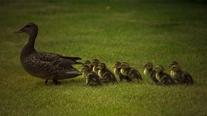 Preview wallpaper duck, young, ducks, grass, walk, family, care