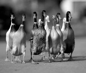 Preview wallpaper ducks, flock, road