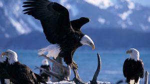Preview wallpaper eagle, bird, fly, swing, predators