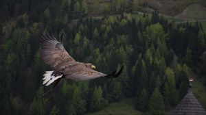 Preview wallpaper eagle, bird, flying, forest, trees