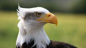 Preview wallpaper eagle, bird, predator, beak