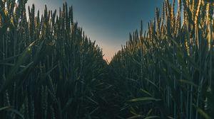 Preview wallpaper ears, field, grass, path