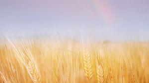 Preview wallpaper ears, field, wheat, gold, sky, rainbow