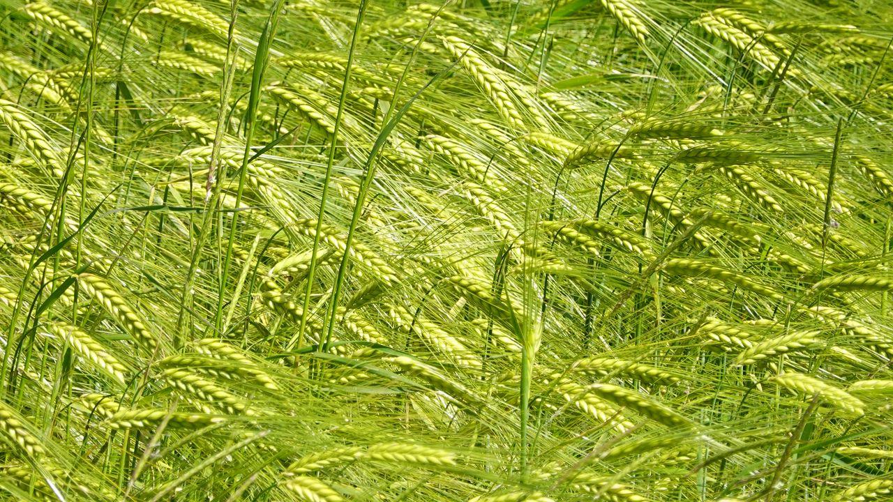 1280x720 Wallpaper ears, grass, field, plants, wind
