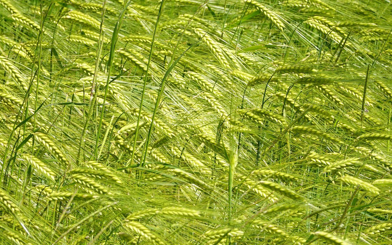 1440x900 Wallpaper ears, grass, field, plants, wind