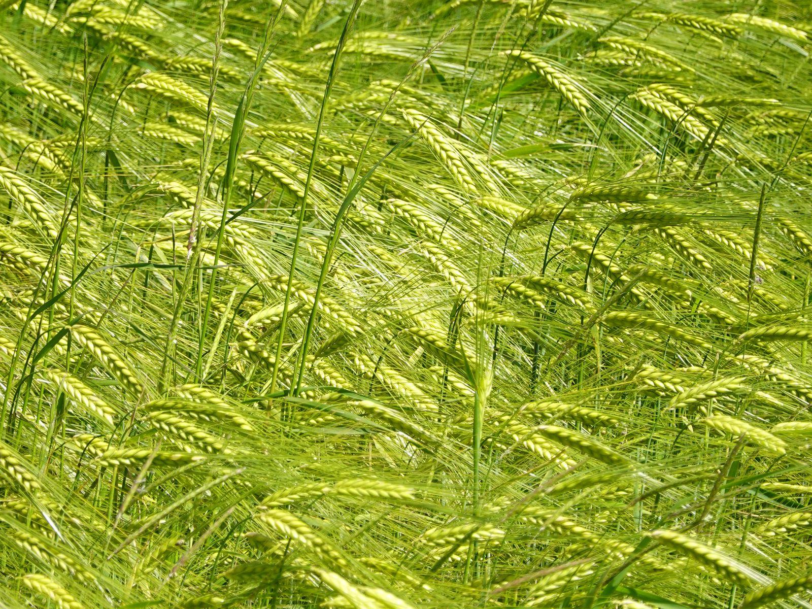 1600x1200 Wallpaper ears, grass, field, plants, wind