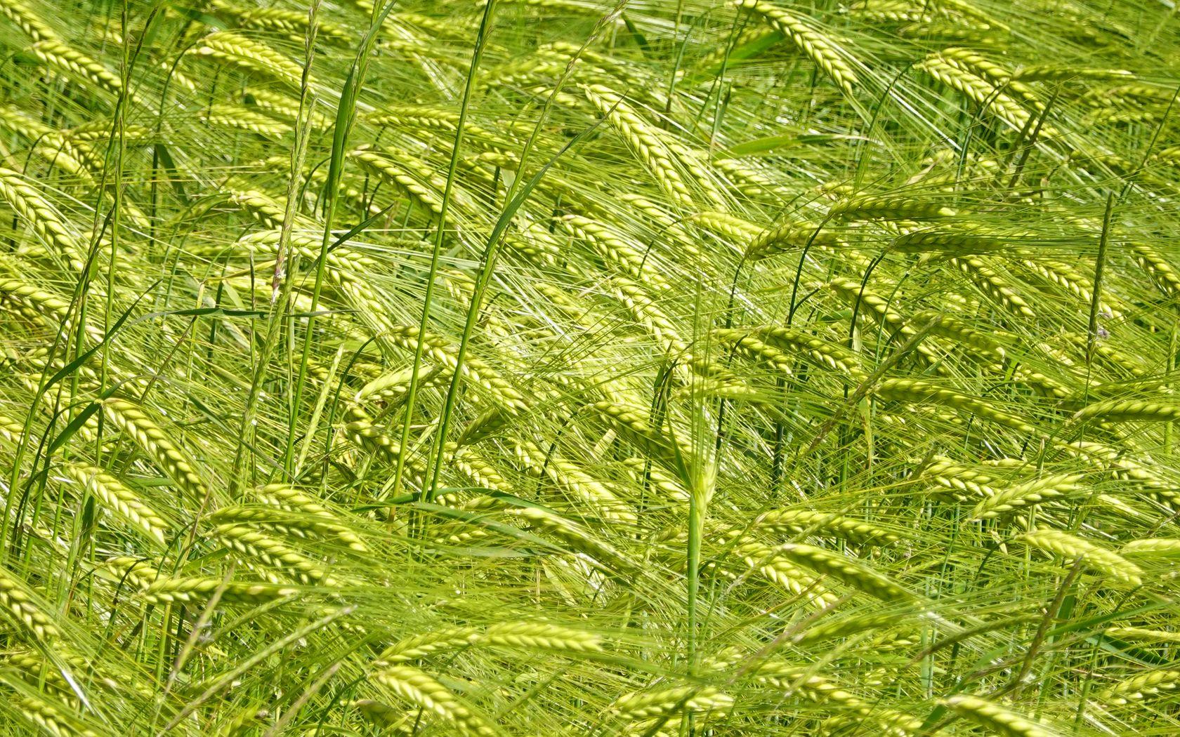 1680x1050 Wallpaper ears, grass, field, plants, wind