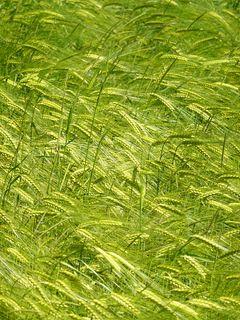 240x320 Wallpaper ears, grass, field, plants, wind