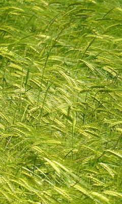 240x400 Wallpaper ears, grass, field, plants, wind