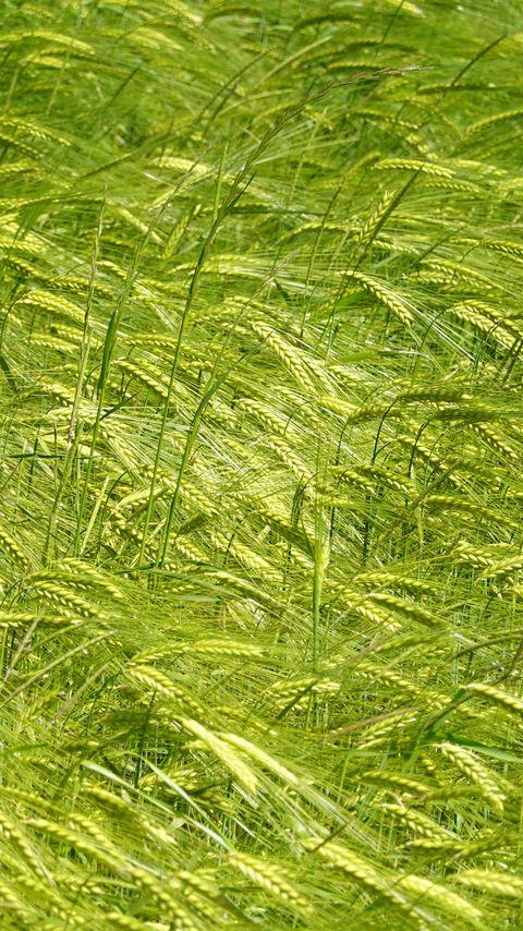 480x854 Wallpaper ears, grass, field, plants, wind