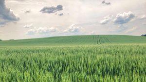 Preview wallpaper ears, grass, field, distance