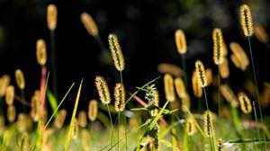 Preview wallpaper ears, grass, field, nature